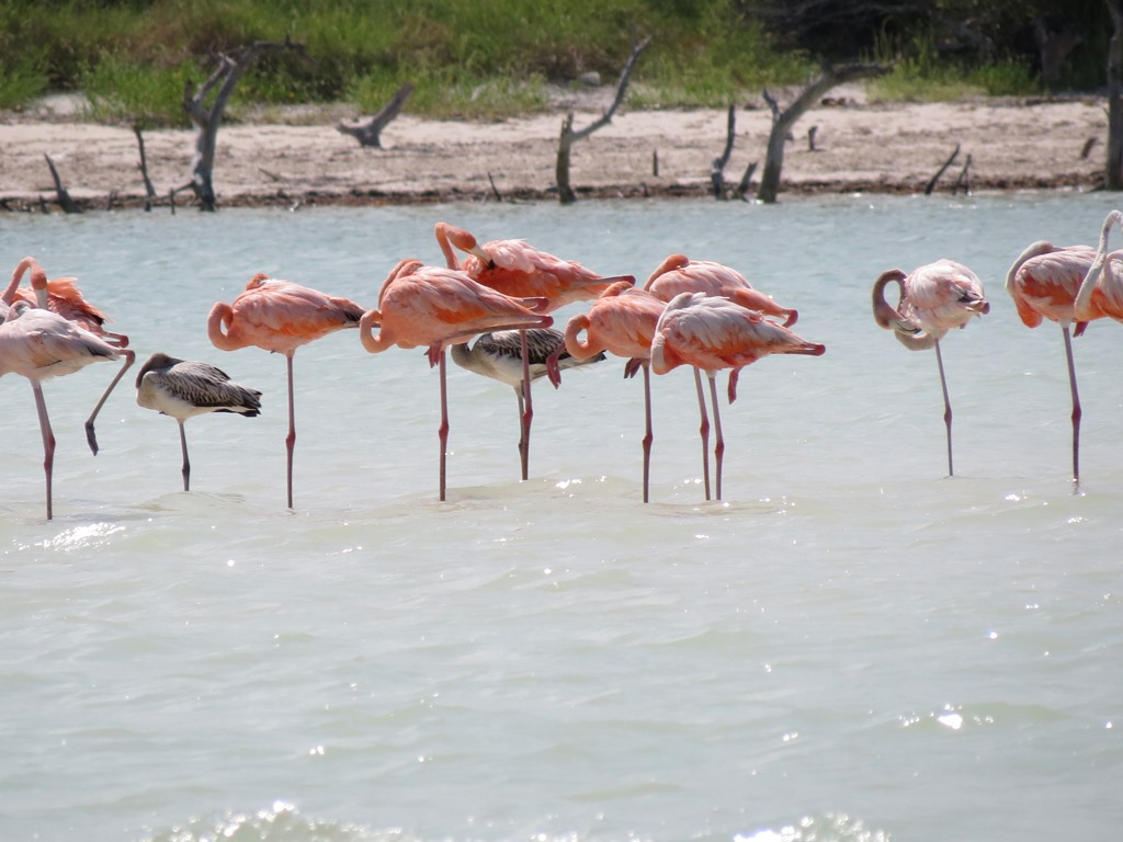 flamingos-in-Holbox