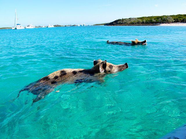 Big-Major-Cay-pigs2