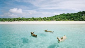 Swimming-Pigs