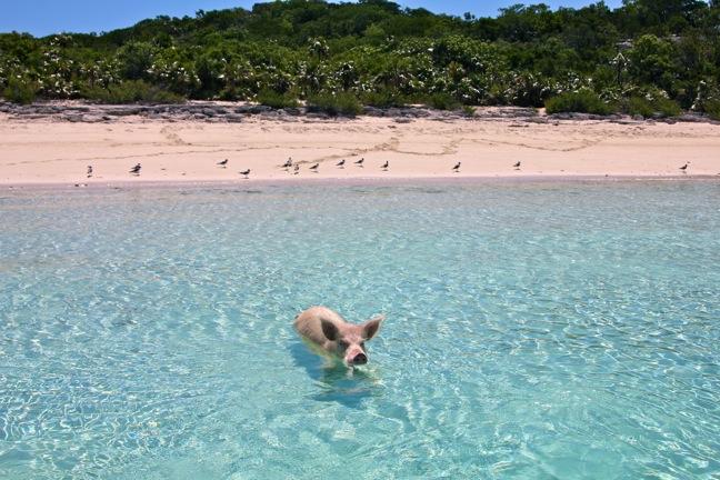 Swimming_Pig