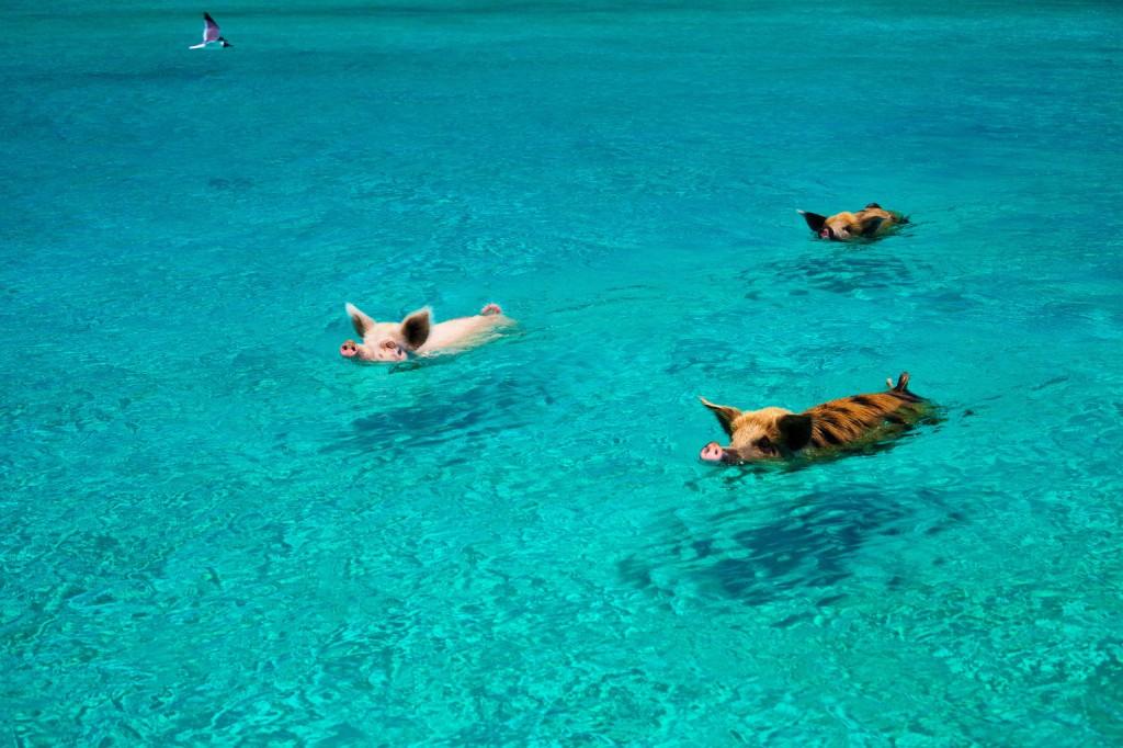 o-PIGS-SWIM-facebook
