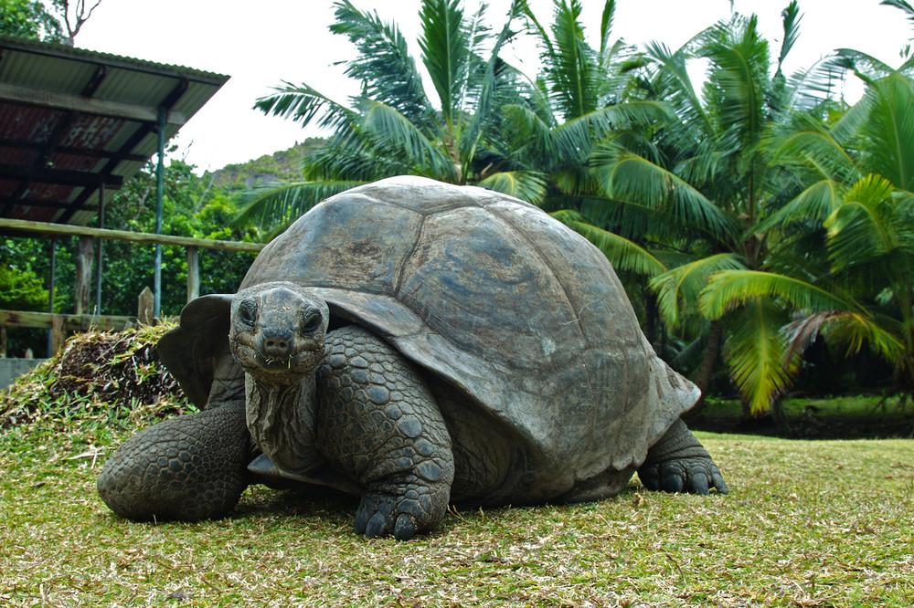 seychellen-riesenschildkroeten-auf-curieuse-island-94b81348-c2be-402a-aaf3-1216f37d8e07